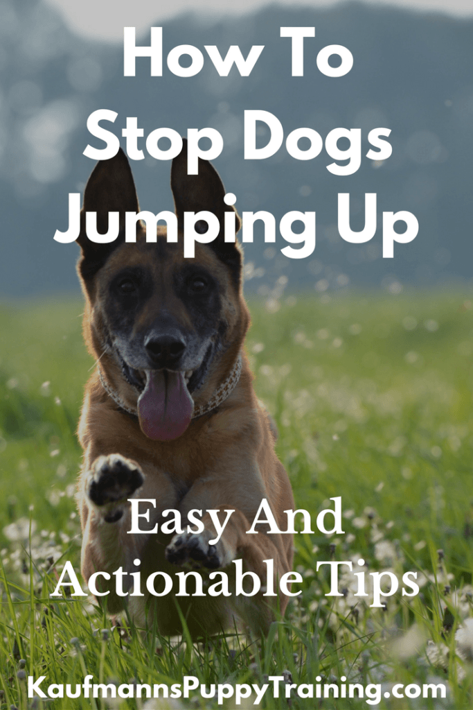 How To Stop Dogs Jumping Up: Easy And Actionable Tips - When your puppy jumps up at you it can be adorable. But when a grown dog jumps up, the situation isn't so sweet. After reading this blog post, you'll know how to train your puppy or dog to behave around you and others without jumping up for attention. You'll get all the tools you need to train your puppy and grown dog, as well. Read at www.kaufmannspuppytraining.com #puppytraining #dogtraining